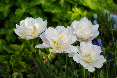 Photograph - Soft White And Baby Pink Tulip Quartet - Enjoying The Beauty Of Spring by Georgia Mizuleva