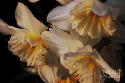 Photograph - Soft White Daffodils by Erica Hanel