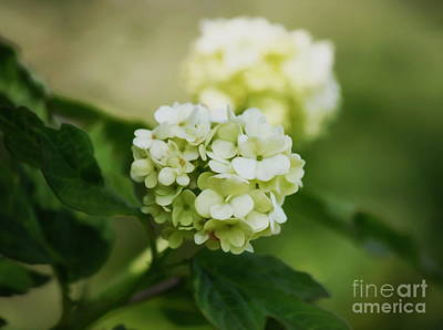 Photograph - Soft White by Erica Hanel