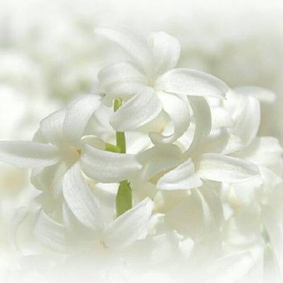 White Wall Art - Photograph - Soft White Flowers by James Granberry