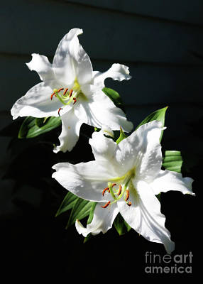 Sunlight On Flowers Photograph - Soft White Lilies by Carol Groenen
