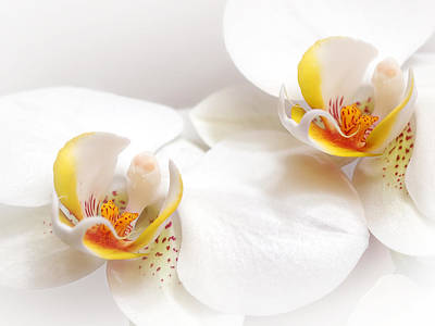 Photograph - Soft White Orchid Pair by Gill Billington