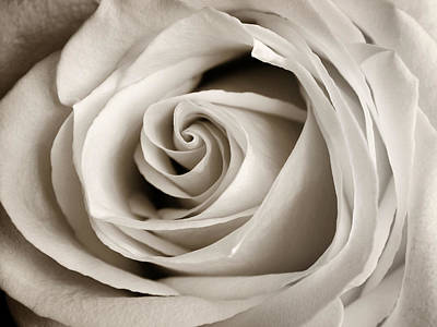 Photograph - Soft White Rose by Marilyn Hunt