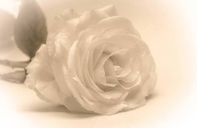 Photograph - Soft White Rose by Scott Carruthers