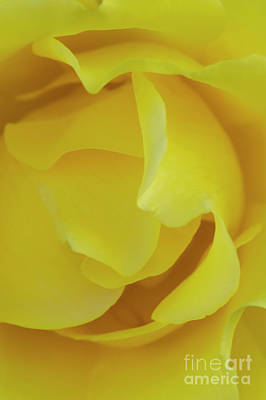 Photograph - Soft Yellow Rose In Bloom by David Zanzinger