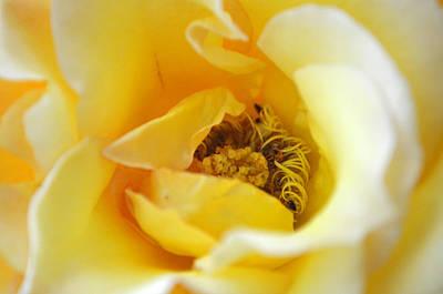Soft Yellow Rose Original