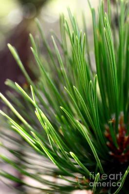 Softer Side Of Pine Art Print