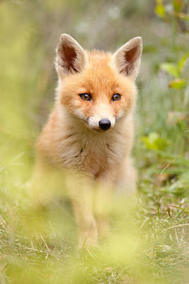 Fox Kit Photograph - Softfox by Roeselien Raimond