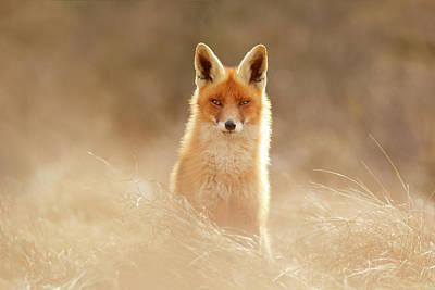 Beautiful Faces Photograph - Softfox Series - Sunshine Fox II by Roeselien Raimond