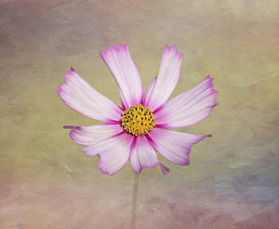 Photograph - Softly Cosmos by Kim Hojnacki