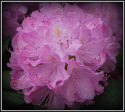 Photograph - Softly In Pink - Rhododendron by Dora Sofia Caputo Photographic Art and Design