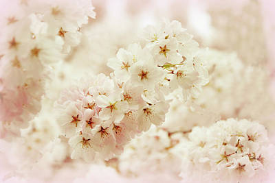 Cherry Blossoms Photograph - Softly by Jessica Jenney
