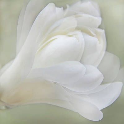 Photograph - Softness Of A White Magnolia Flower by Jennie Marie Schell