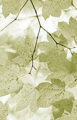 Photograph - Softness Of Olive Green Maple Leaves by Jennie Marie Schell