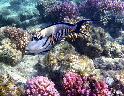 Sohal Surgeonfish 5 Art Print