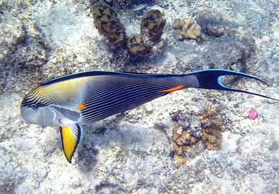 Photograph - Sohal Surgeonfish Macro Photography by Johanna Hurmerinta