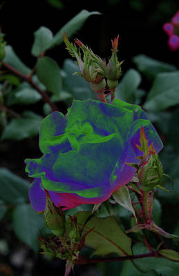 Photograph - Solarized Rose by Karen Harrison
