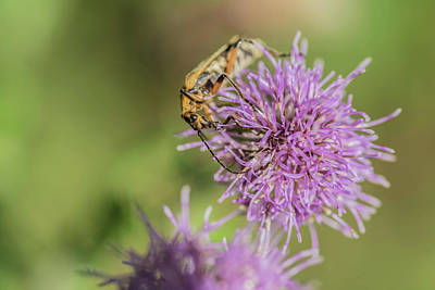 Photograph - Soldier Beatle On Wild Thistle by Bruce Pritchett