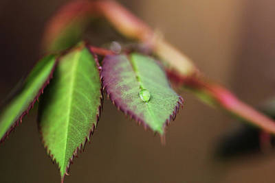 Photograph - Sole Water Droplet On Rose Plant Leaf by Prakash Ghai