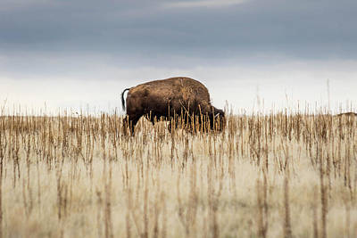 Photograph - Solidary Bison by Dallas Golden