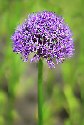 Photograph - Solitary Allium by Nikolyn McDonald
