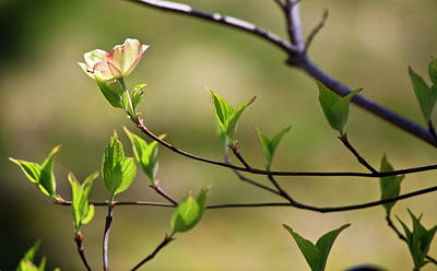 Solitary Dogwood Bloom Art Print by Teresa Mucha