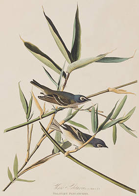 Flycatcher Drawing - Solitary Flycatcher Or Vireo by John James Audubon