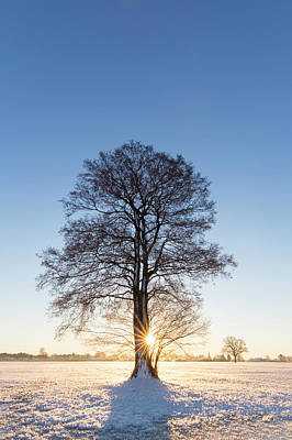 Photograph - Solitary Oak In Winter by Arterra Picture Library