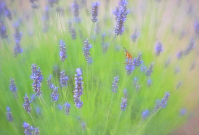 Photograph - Solitary Orange Butterfly On Tall Purple Flowers by Barbara Rogers