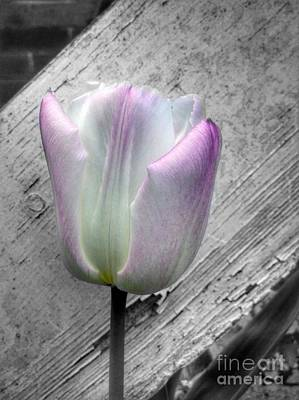Photograph - Solitary Pink Whisper Tulip by Joan-Violet Stretch