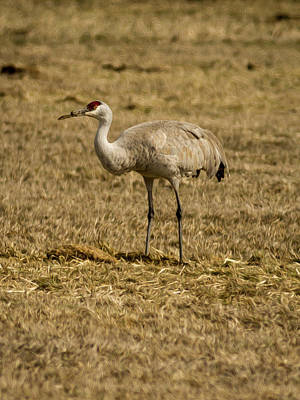 Photograph - Solitary Sandhill Crane By Jean Noren by Jean Noren