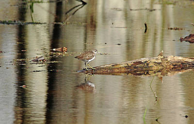Photograph - Solitary Sandpiper by Debbie Oppermann