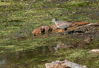 Photograph - Solitary Sandpiper by Edward Peterson