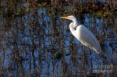 Egret Photograph - Solitude by Wingsdomain Art and Photography