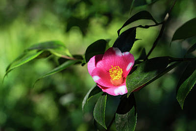 Photograph - Solo Camellia Glowing In The Greenery by Georgia Mizuleva