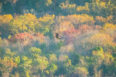 Photograph - Solo Eagle With Fall Colors by Jeff at JSJ Photography