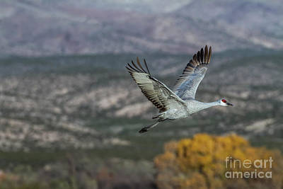 Photograph - Solo Flight In Bosque by Ruth Jolly