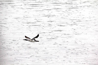 Photograph - Solo Merganser Flight In Rain by Debbie Oppermann