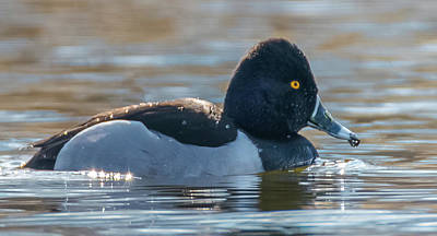 Photograph - Solo Ring-necked Duck by Jeff at JSJ Photography