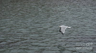 Splashing Etc Photograph - Solo Seagull Low And Fast Flight...   # by Rob Luzier