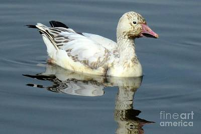 Photograph - Solo Snow Goose by Frank Townsley