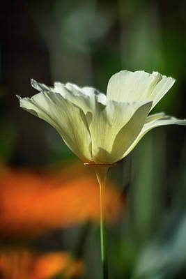 Photograph - Solo White Poppy  by Saija Lehtonen