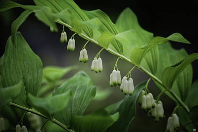 Photograph - Solomon's Seal by John Meader