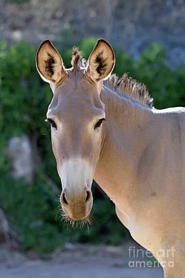 Photograph - Somali Wild Ass by George Atsametakis