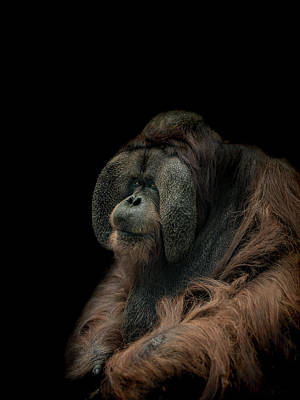 Ape Wall Art - Photograph - Somber by Paul Neville
