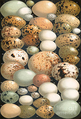 Sandpiper Painting - Some Favorite British Birds' Eggs by English School
