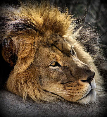 Lion Face Photograph - Someday Freedom by Linda Mishler