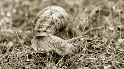 Photograph - Somerset Snail In The Grass D by Jacek Wojnarowski