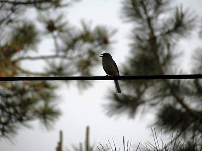 Photograph - Song Bird by Laurel Powell
