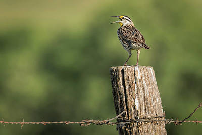Photograph - Song Of The Meadowlark by Scott Bean